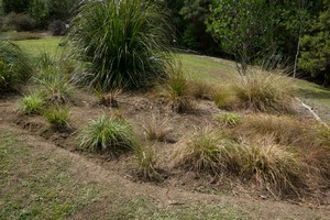 Native grasses after weeding